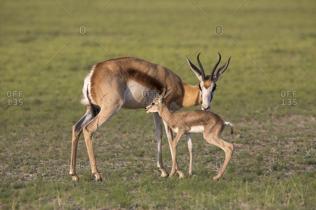 Springbok (Antidorcas marsupialis) with newborn calf suckling, Kgalagadi Transfrontier Park, Northern Cape, South Africa, Africa