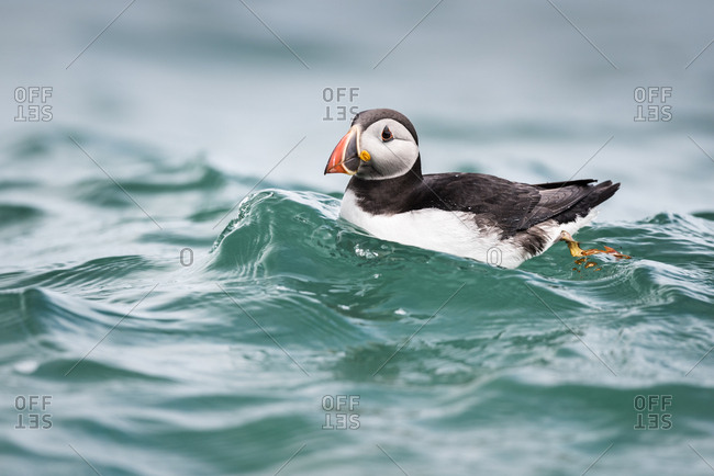 Puffin (Fratercula arctica) riding a small wave in North Haven on Skomer, Wales, United Kingdom, Europe