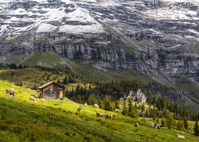 A traditional Swiss hut and grazing cattle in the Jungfrau region, Valais, Switzerland, Europe