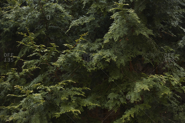 Boughs of evergreen trees in forest