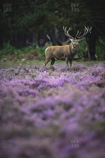 Solitary red deer stag in moorland with blooming heather