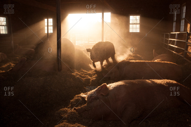 Pigs in a sunlit barn