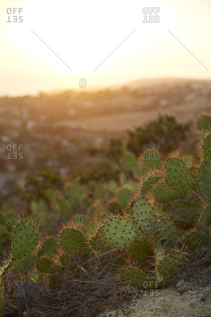 Cactus plants in hills