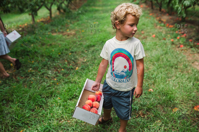 Curly haired boy picking peaches