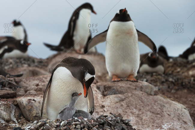 Mother and cub of Gentoo penguin, Pygoscelis papua