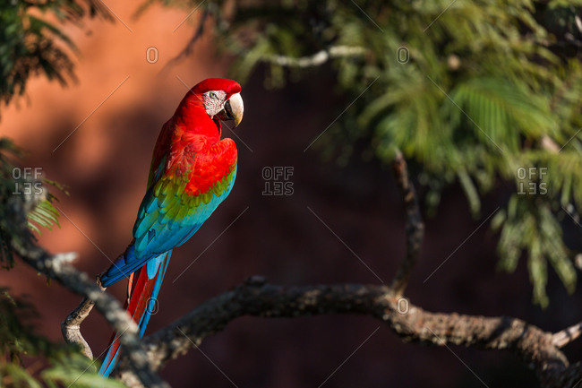 A red-and-green macaw, Ara chloropterus