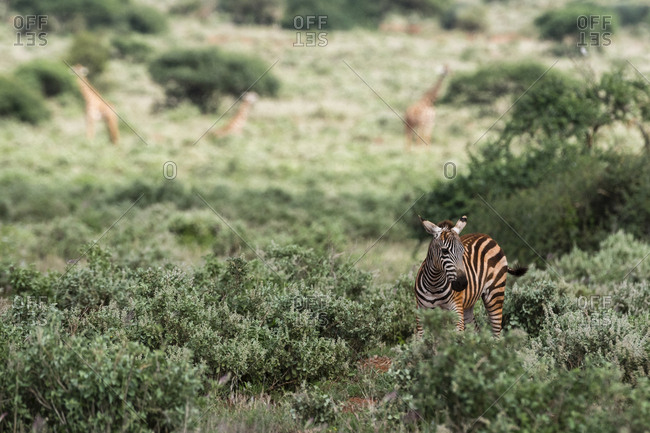 A common zebra calf, Equus quagga, stands in a green savannah
