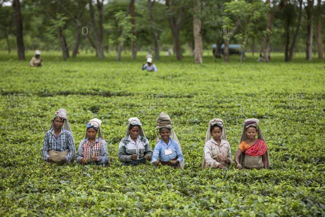 October 26, 2016: Female Workers In Tea Garden At Dibrugarh, India
