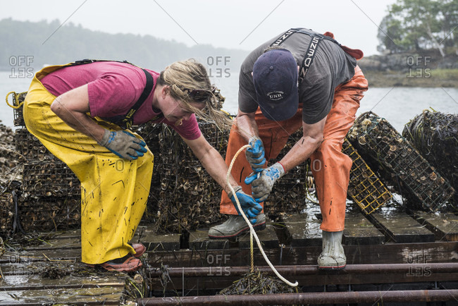 September 6, 2016: Two Oyster Researcher Pull-up A Cage Full Of Oysters To Be Moved Into The Wild  In New Hampshire