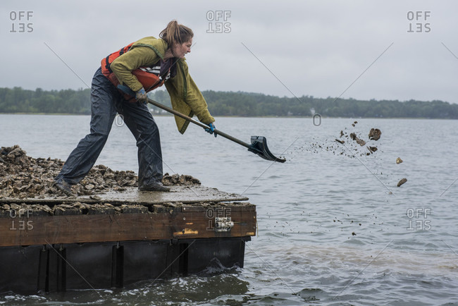 September 6, 2016: An Oyster Restoration Specialist Shoveling Oysters Onto The Artificial Reef In New Hampshire