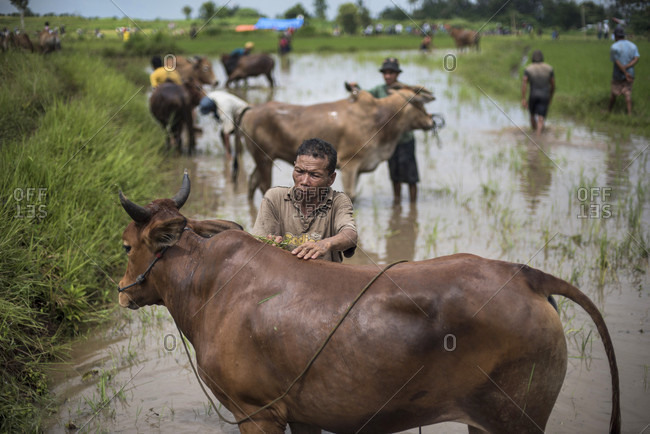 May 30, 2015: A Local Farmer Washes His Cow During The Famous Cow Race Pacu Jawi In West Sumatra, Indonesia