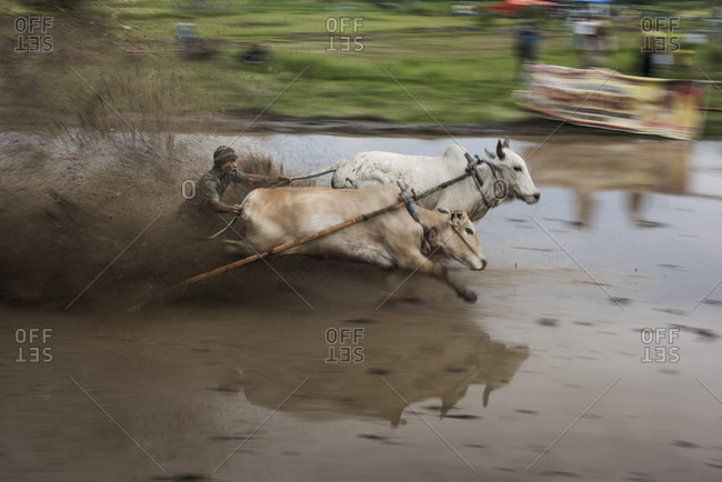 May 30, 2015: A Cow Jockey Races With His Cow At The Traditional Cow Race Of Pacu Jawi In West Sumatra, Indonesia