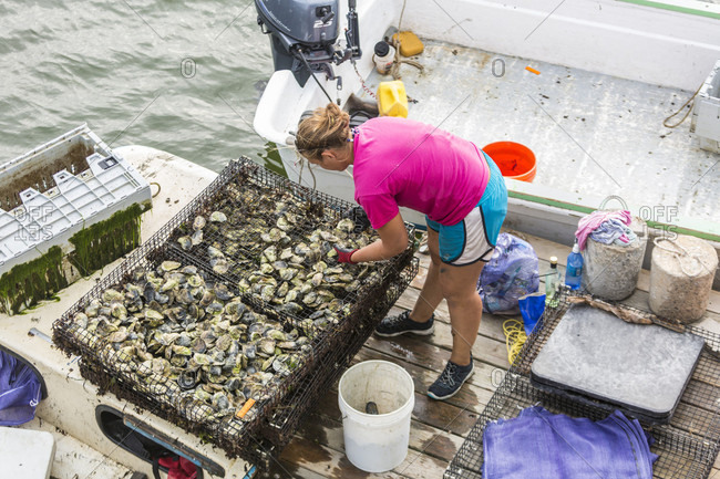 September 14, 2016: A Female Oysterer Sorts Oysters On A Dock At Pine Point In Scarborough, Maine