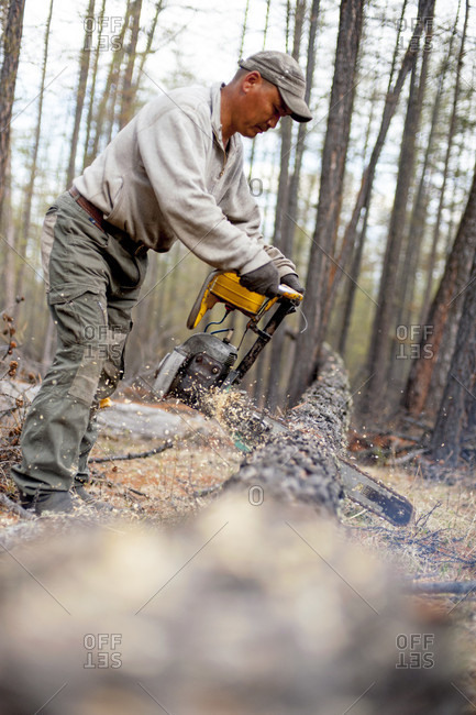 June 1, 2011: A Logger Sawing Wood In The Forest, Mongolia