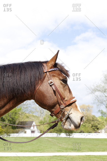 Brown horse in bridle