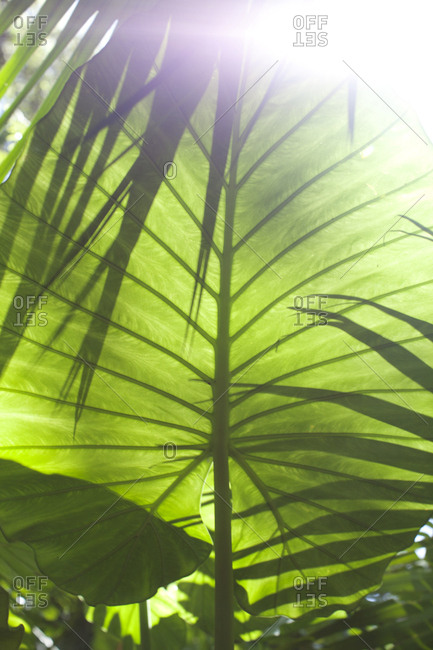 Sunlight through a large leaf