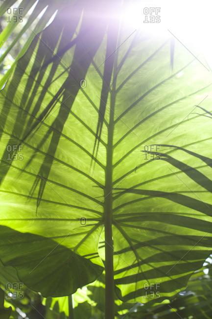 Sunlight through a large leaf