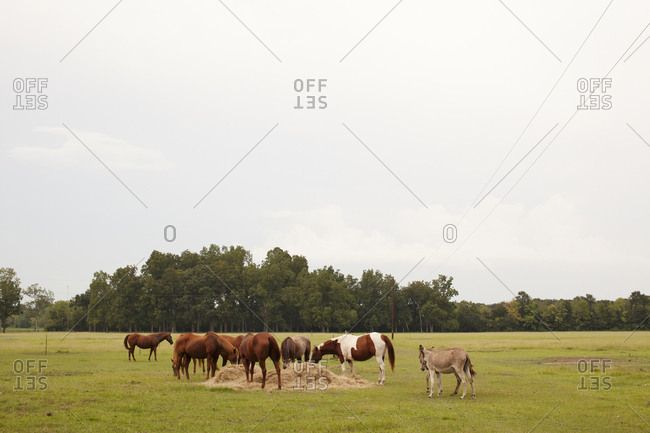 Horses eating hay in field