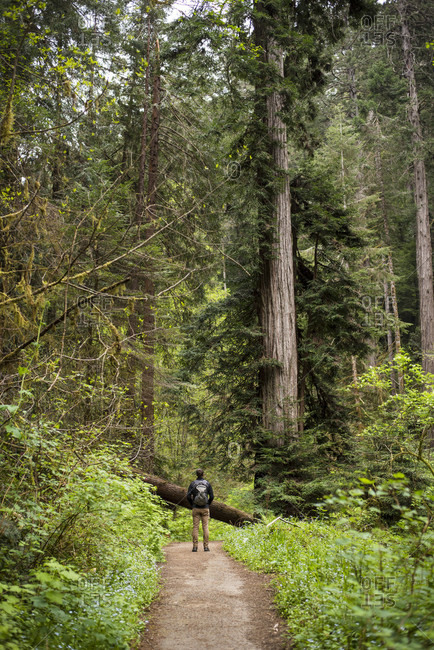 Man hiking on footpath among redwood tree on Russian Gulch Trail, Mendocino County, California