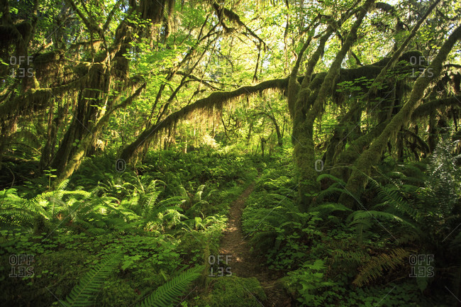A hiking trail leads through the dense Hoh Rain Forest in Olympic National Park.