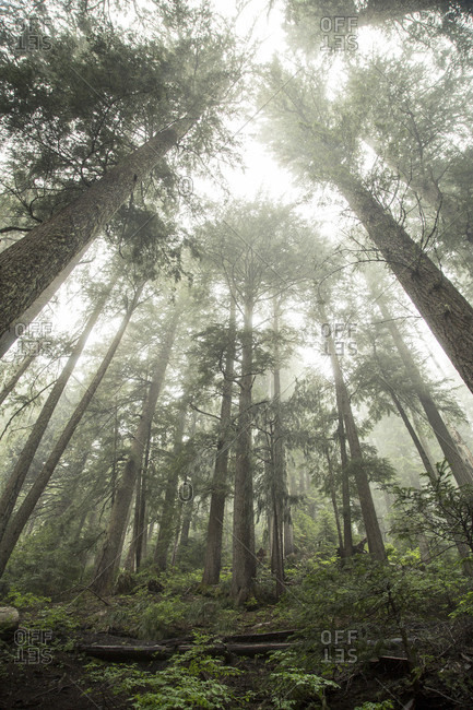 Pine trees sit in a blanket of fog and mist.