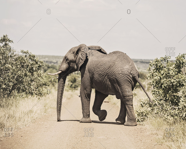 Nature photograph with single elephant crossing dirt road, Kruger National Park, South Africa