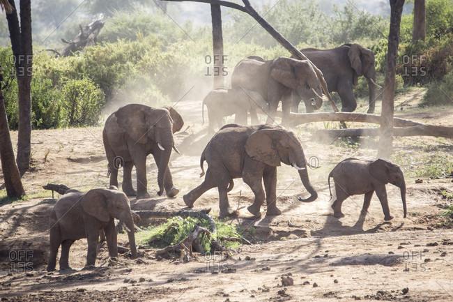 Herd of elephants in Samburu National Reserve, Kenya