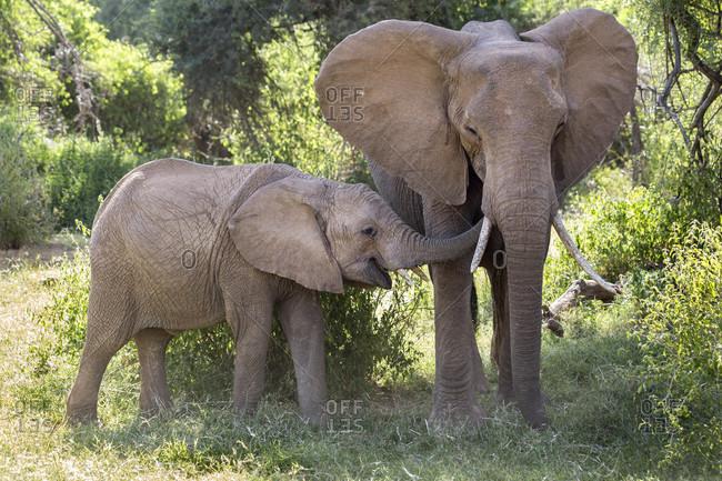 Elephant family at Samburu National Reserve, Kenya