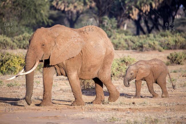 Elephant family of two at Samburu National Reserve, Kenya