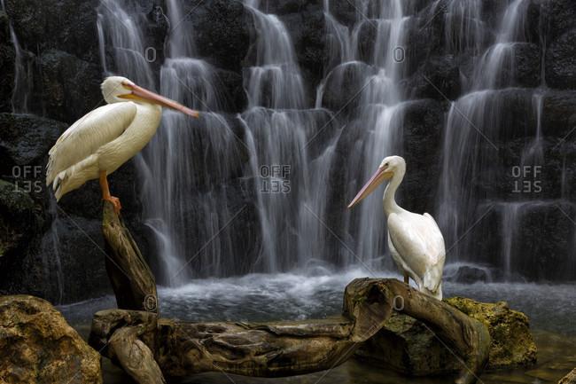 Two white pelican (Pelecanus erythrorhynchos) birds against waterfall,  Park, Playa del Carmen, Yucatan Peninsula, Mexico