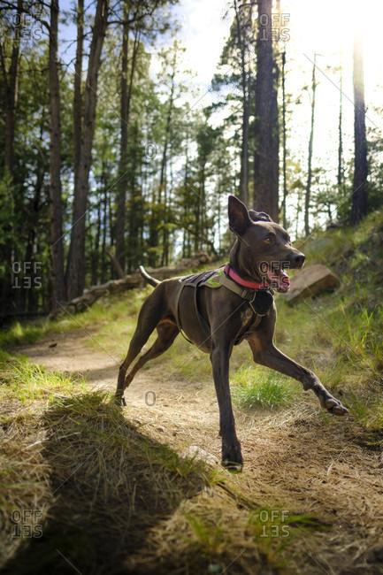 Adventure Dog running in forest during daytime, Mogollon Rim, Arizona, USA