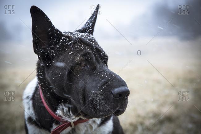Photograph with headshot of black dog during snowfall, Johnstown, Ohio, USA