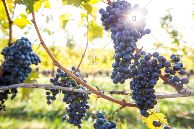 Photograph with bunches of grapes hanging on vines at vineyard, Delaplane, Virginia, USA