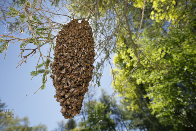 Swarm of bees hanging from tree branch, Massachusetts, USA
