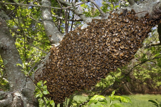 A swarm of honey bees in a tree. Swarming is a natural reproduction behavior of the honey bee.