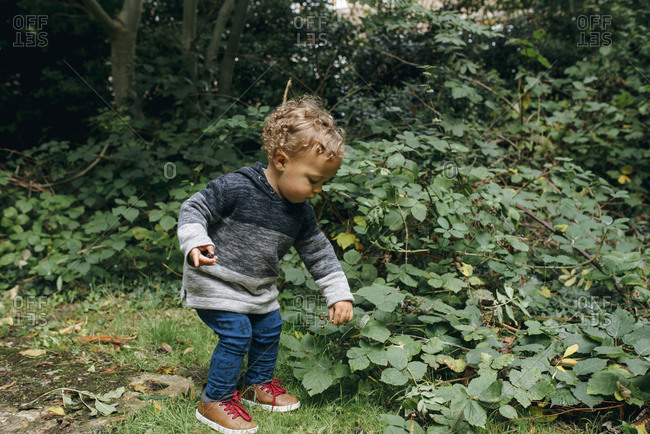 Toddler picking the last wild blackberries on a branch