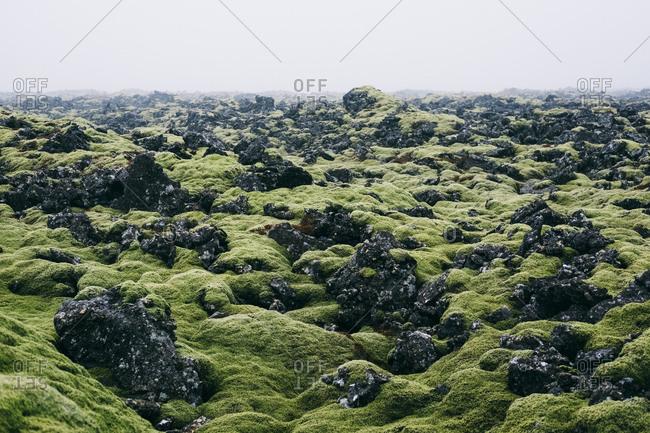 Moss growing in volcanic field