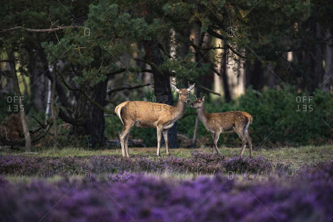 Red deer hind (cervus elaphus) with youngster in blooming heather