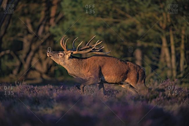 Red deer stag (cervus elaphus) in moorland lit by low sunlight