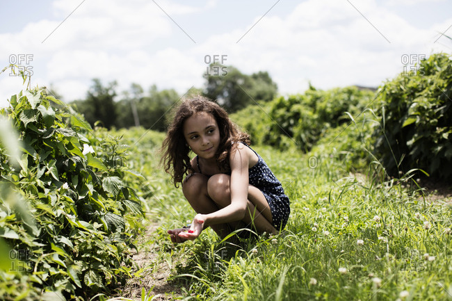 Girl picking raspberries from a bush on a farm
