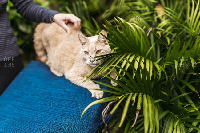 Person petting an orange cat sitting on blue lounge chair