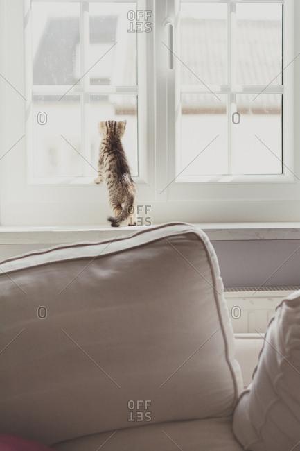 Small kitten looking out window
