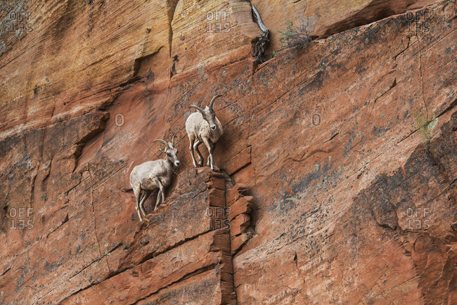 Low angle view of mountain goats on rock formation at Zion National Park