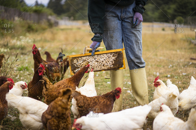 Midsection of female beekeeper feeding hens at farm