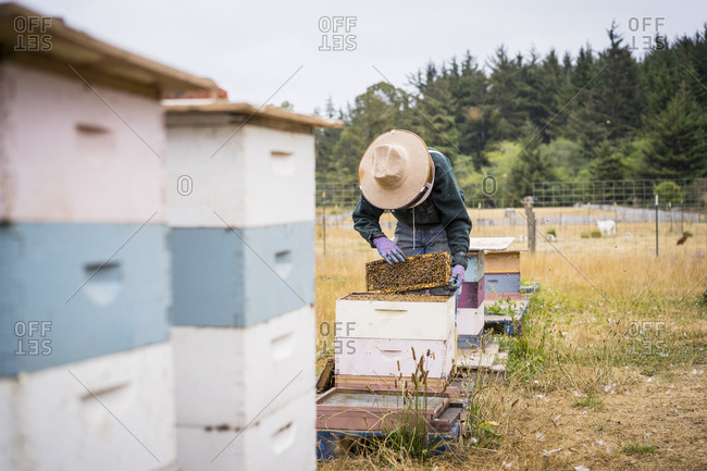 Female beekeeper inspecting beehive frame while standing at farm