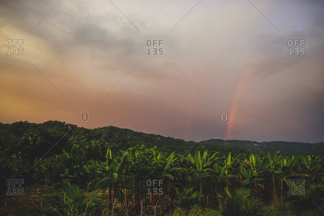 Scenic view of banana field against cloudy sky during sunset
