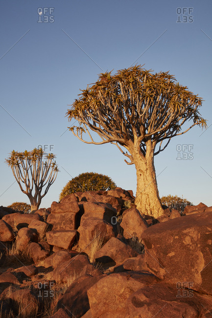 Tall African Baobab trees, Quiver trees, Adansonia at sunset  in the rocky landscape at Keetmanshoop