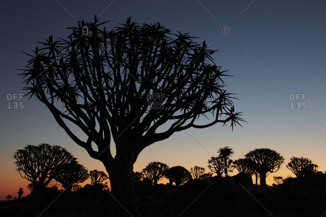 Tall African Baobab trees, Quiver trees, Adansonia, silhouettes at dusk at Keetmanshoop