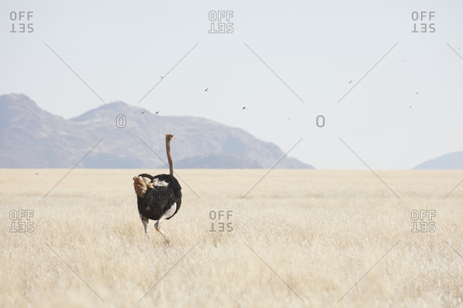 A South African ostrich, Struthio camelus australis, walking through grassland