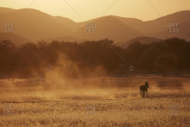 A Burchell's zebra, Equus quagga burchellii, running through grassland and kicking up dust clouds